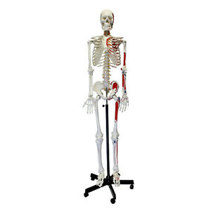 Monmed Medical Skeleton Model Life Size Human Skeleton Model Numbered