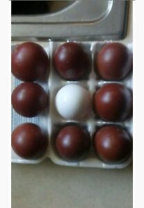 6 Quality Black Blue And Splash Copper Marans Hatching large Dark Eggs