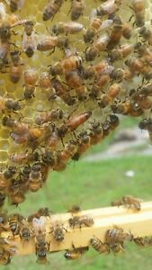 Mated laying queen Honey Bee 2019 Pre order April Shipping great Honey Makers