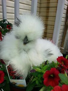 10 Silkie Hatching Eggs Npip