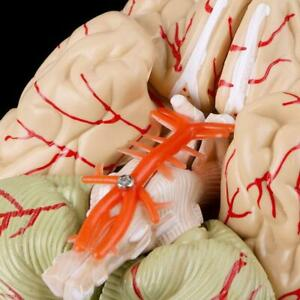 8 Part Human Brain With Arteries Life Size Anatomical Anatomy Model