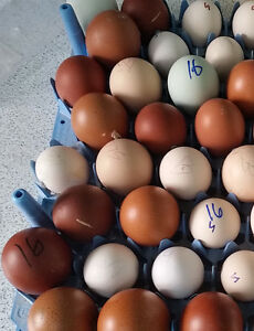 36 Purebred Rare Breeds Hatching Eggs Greenfire Potluck 7 Breeds Free Ship