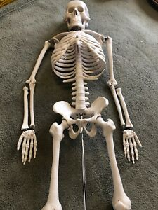 Medical Anatomical Human Skeleton Model With Stand 33