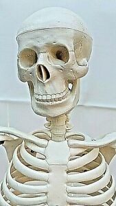 Educational Human Medical Skeleton Model For Anatomy Approx 33 With Stand