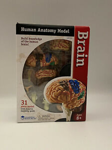 Learning Resources Human Anatomy Model The Brain