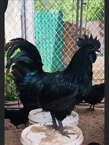 6 extra Fertile Chicken Hatching Eggs Bloodline Ayam Cemani Greenfire Farms
