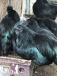 12 extra Fertile Chicken Hatching Eggs Bloodline Ayam Cemani Greenfire Farms