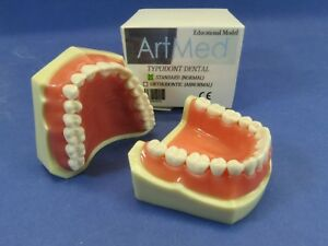 Dental Model Anatomy Typodont Orthodontic Study Practice Interchangeable Teeth