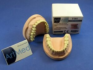 Plaster Dental Educational Training Jaw With Ivorine Teeth Model Om 200 Artmed