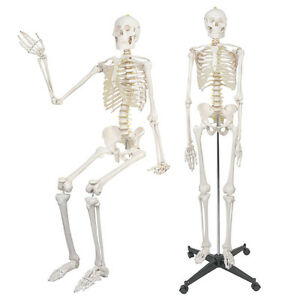 Life Size Human Anatomical Anatomy Skeleton Model With Spinal Nerves Stand