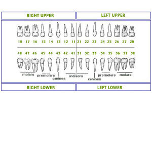 Dental Typodont Model 200 Teeth Set 32 Teeth Compatible With Nissin Kilgore