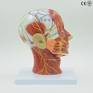 Anatomy Model Human Anatomical Medical Skeleton Life Stand Brain Nerve Vessels