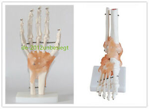 Set Foot Hand Ligament Joint Anatomical Skeleton Model Human Medical Anatomy
