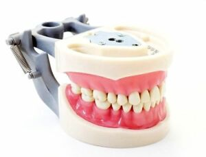 Dental Typodont Model 200 Type Kilgore Nissin Removable Teeth Anatomy Model
