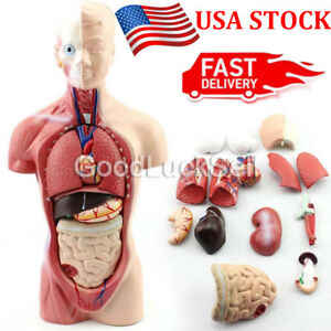 28cm Unisex Human Torso Anatomy Model Viscera Heart Brain Skeleton Medical Teach