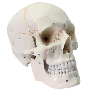 Life Sized Human Anatomical Anatomy Head Skeleton Skull Bone Art Teaching Model