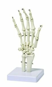 Walter Products B10210 Human Hand Skeleton Model On Base Life Size