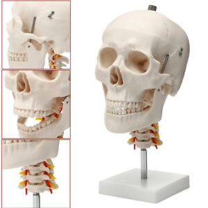 Life Size Human Adult Skull Model Cervical Spine Skeleton Model Anatomy Model