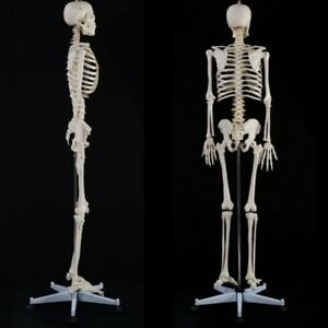 Full Life Size Human Skeleton Adult Model Anatomy Medical School Teaching Stand