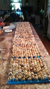 500 Jumbo Brown Coturnix Hatching Quail Eggs