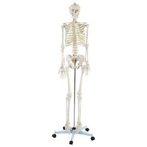 Life Size Human Anatomical Anatomy Skeleton Medical Model And Stand New
