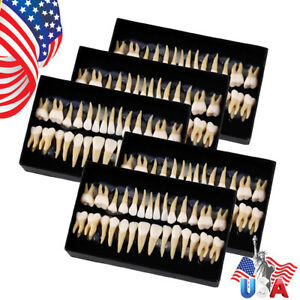 Us 5 dental 1 1permanent Teeth Demonstration Study Model Tooth Model 7008