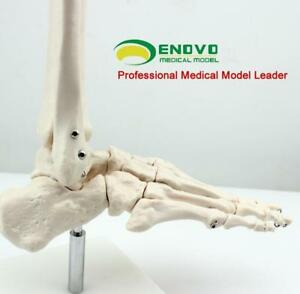 Life size Foot Joint Skeleton Enovo Medical Human Cmam joint01 Anatomy Model Lab