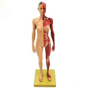 Dental 30cm Human Body Muscles Skeletal Anatomical Model For Study And Teaching