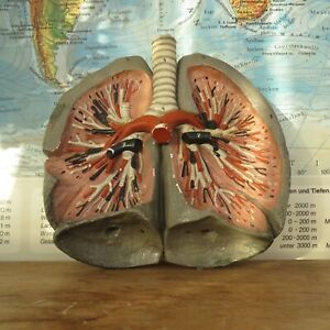 A Vintage Medical Scientific Model Of Human Lungs 1960s
