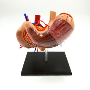 Human Stomach Internal Organs Anatomy Educational Model Kit 4d Vision Assembly