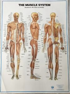 Anatomical Chart Series Orthofloex