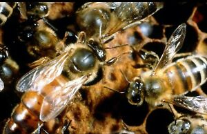 Mated Honeybee Queen marked Shipping Usps Priority Limited Quantiy