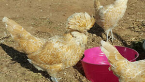 8 Buff Laced Polish Crested Chicken Fertile Hatching Eggs For Incubators
