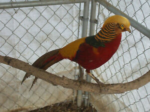 6 Pure Fertile Red Golden Pheasant Hatching Eggs Ready Now