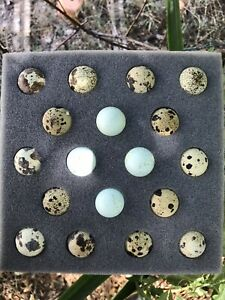 18 Assorted Coturnix Quail Eggs 4 Blue Included free Shipping