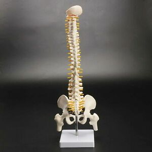 Human Spine With Pelvic Anatomical Spinal Column Structures Model Stand Flexible
