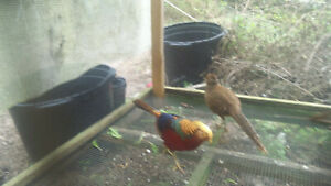 Pre Sale Red Golden Pheasant Hatching Eggs