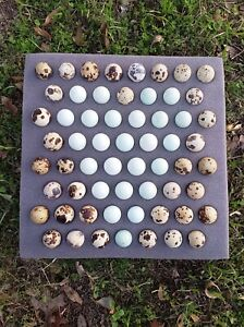 25 Celadon Blue 35 Assorted Coturnix Quail Eggs free Shipping