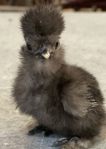6 Quality Silkie Frizzle Satin And Naked Neck Hatching Eggs Npip