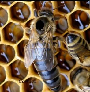 2021 Honeybee Mated Queen Carniolan Carnica Hybrid northern Climate limited