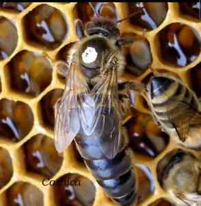 Marked 2021 Honeybee Mated Queen Carniolan Carnica Hybrid northern Climate