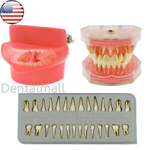 Us Dental Typodont Model Standard Model Removable Teeth Replace Tooth M7008 7021