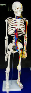 Model Anatomy Professional Medical Skeleton Nerves Blood Vessels 34 85cm It 004