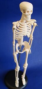 Model Anatomy Professional Medical Skeleton Miniature 42cm 17in It 005 Artmed
