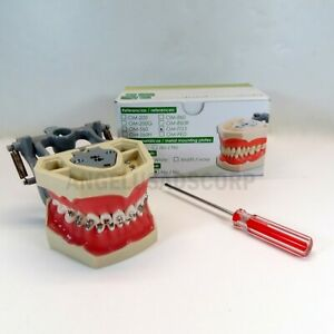 Typodont Dental Educational Practice With Bracket Roth 0 22 Replacable Teeth Usa