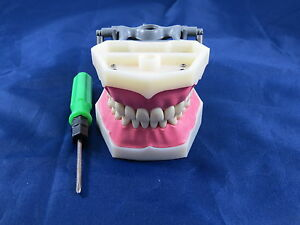 Model Anatomy Typodont Dental Practice Model Fg3 Artmed