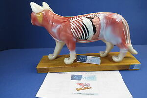 Model Anatomy Professional Medical Veterinary Acupuncture Cat It 111 Artmed