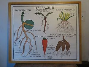 Vintage Botanical Editions Rossignol School Wall Chart Of Roots And Plant