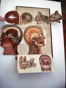 Vintage Medical Chart That Shows Head Ear Mouth Nose Eye In Detail