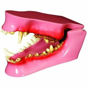 Medical Supplies Equipment Canine dog Jaw Anatomical Model